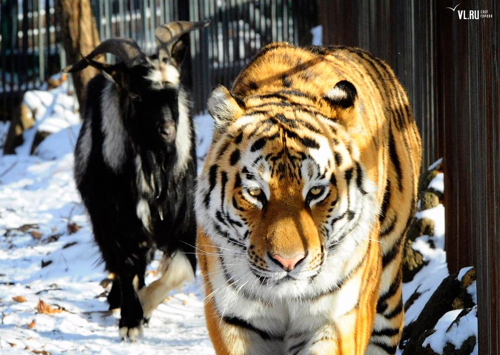 тигр и козел фото 5