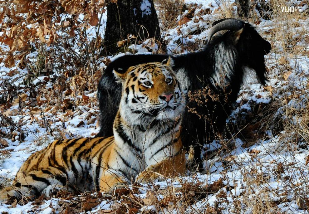 тигр и козел фото 6