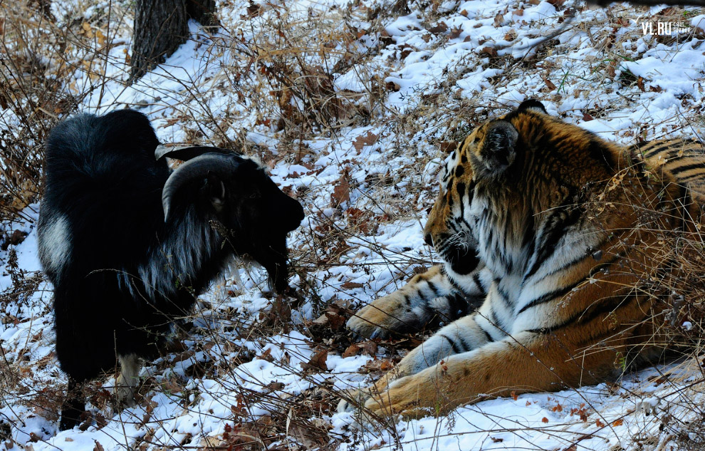 тигр и козел фото 7