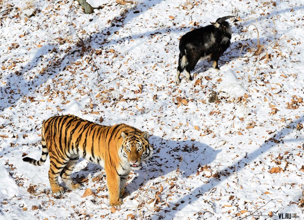 тигр и козел фото 8