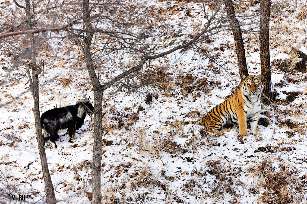 тигр и козел фото 9
