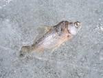 Рыба зимой в водоеме