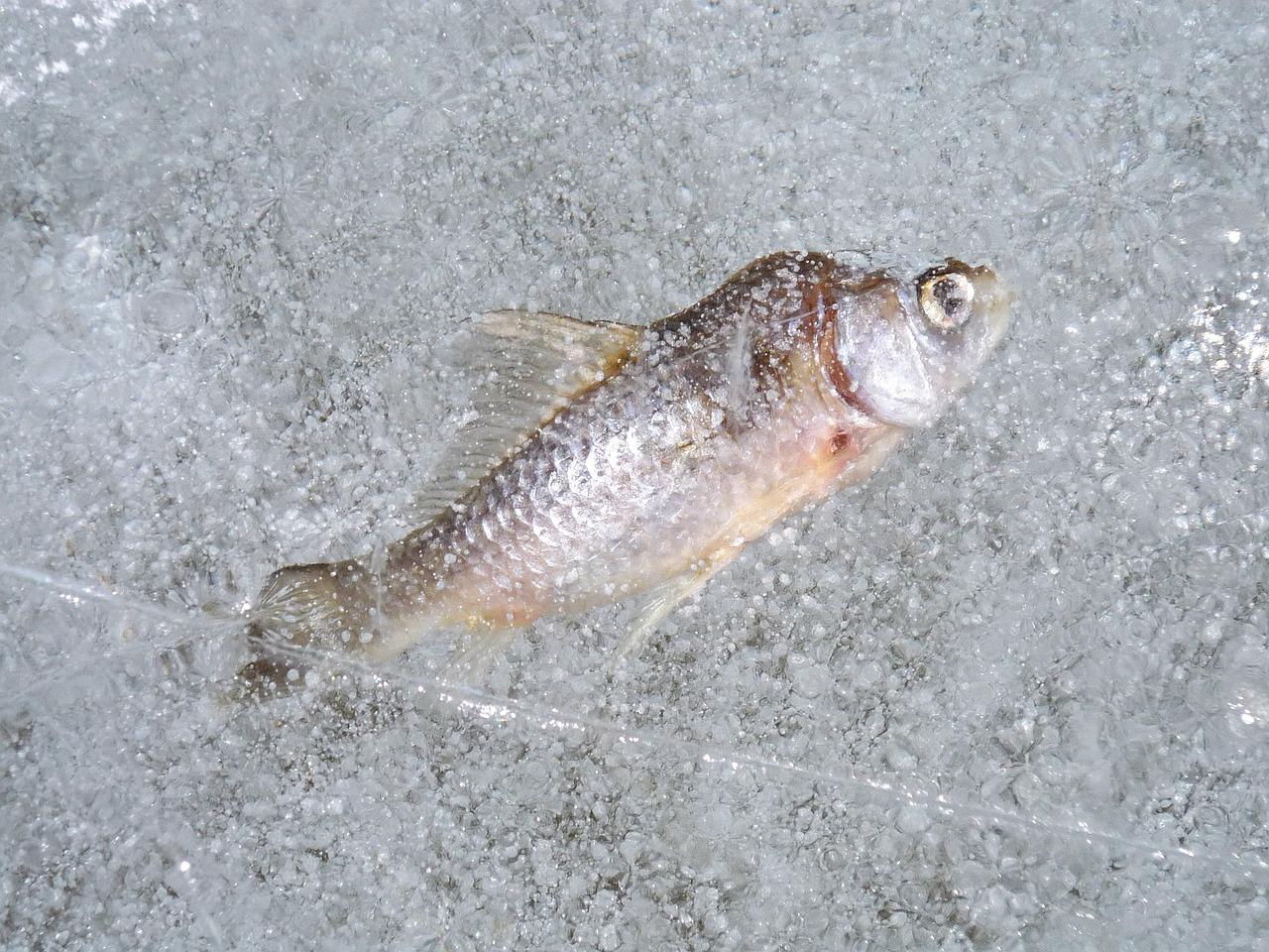 рыба зимой