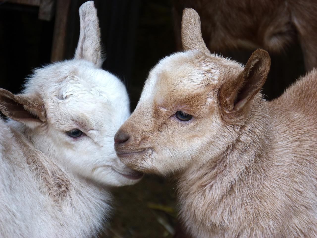 клички коз - как назвать козленка