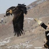 Охота с беркутом: особенности, фото, видео