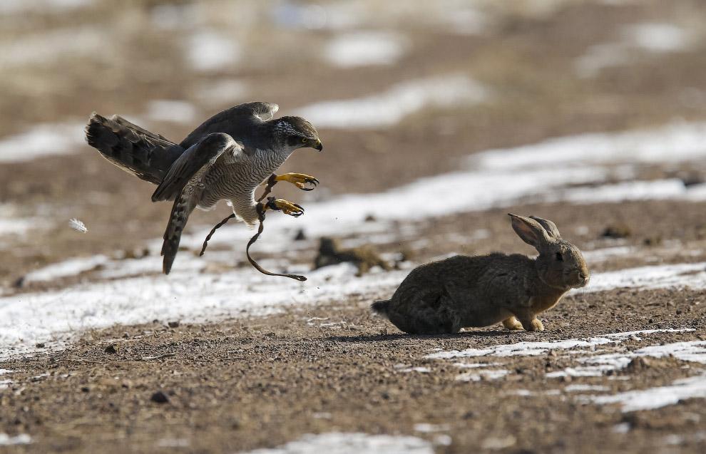 охота с беркутом 4