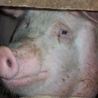 Таблица веса свиней