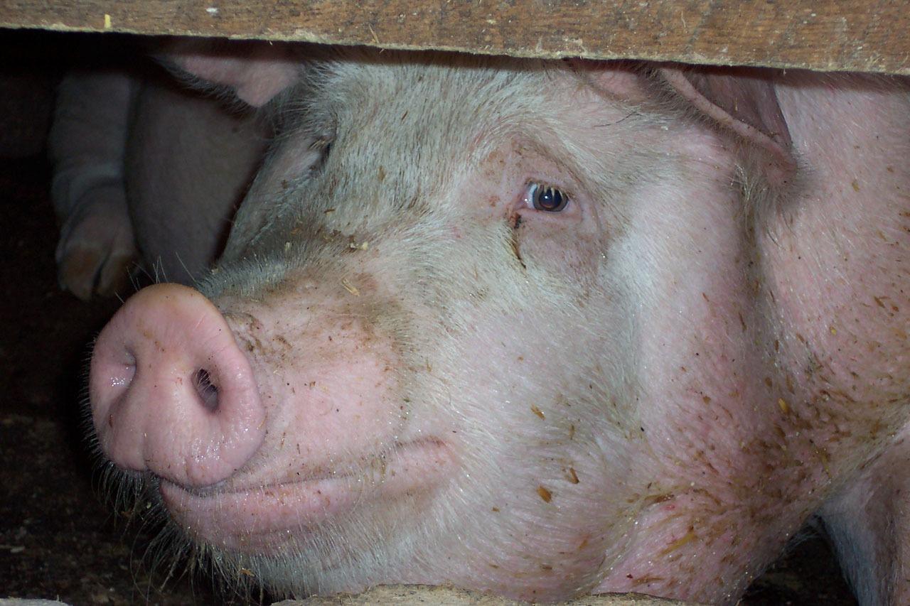 таблица веса свиньи 1