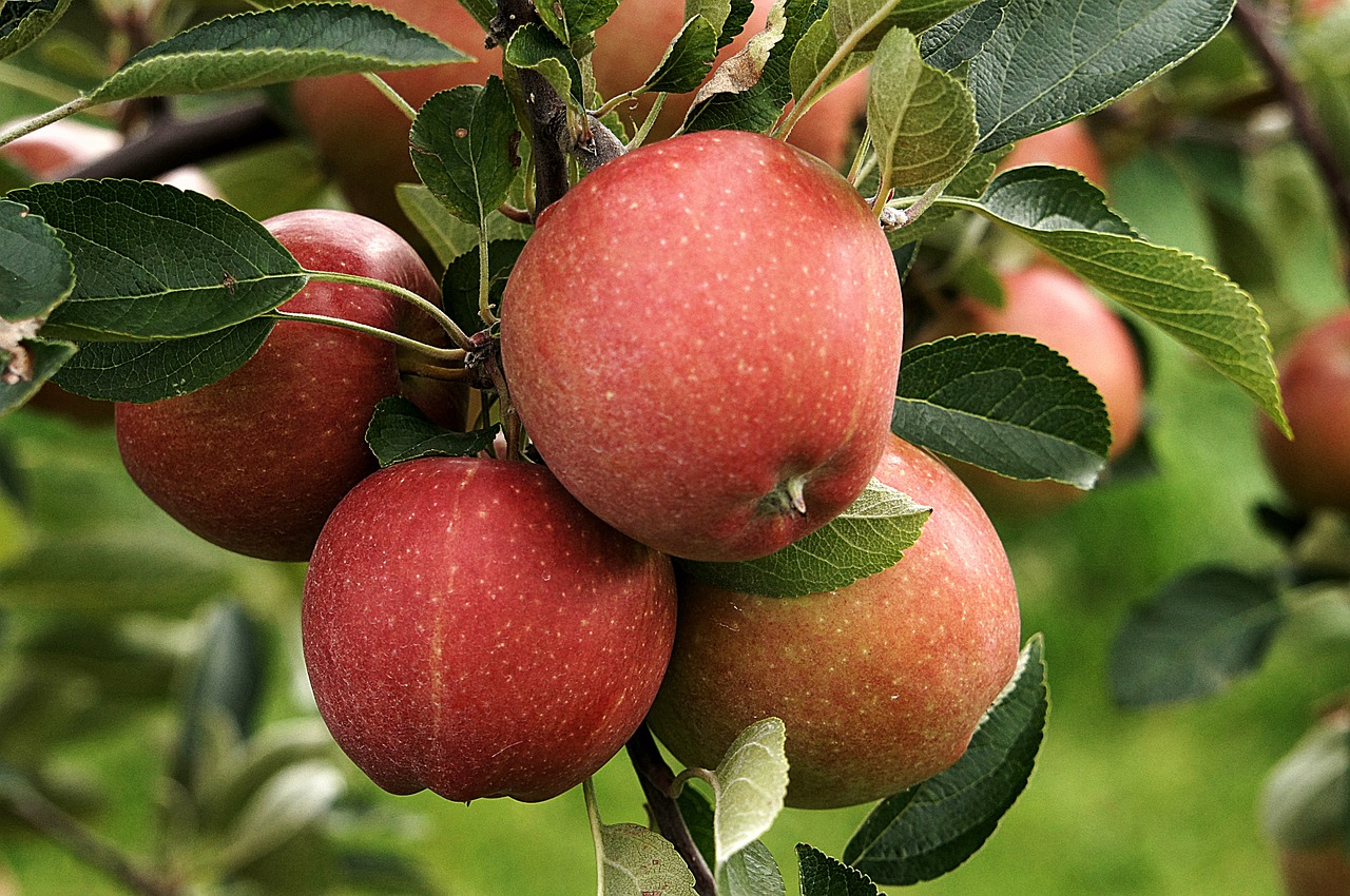 сад плоды 1