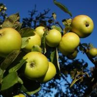 Как заставить плодоносить сад? 8 жестоких способов