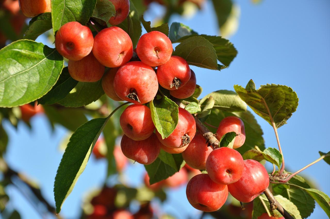 сад плоды 3