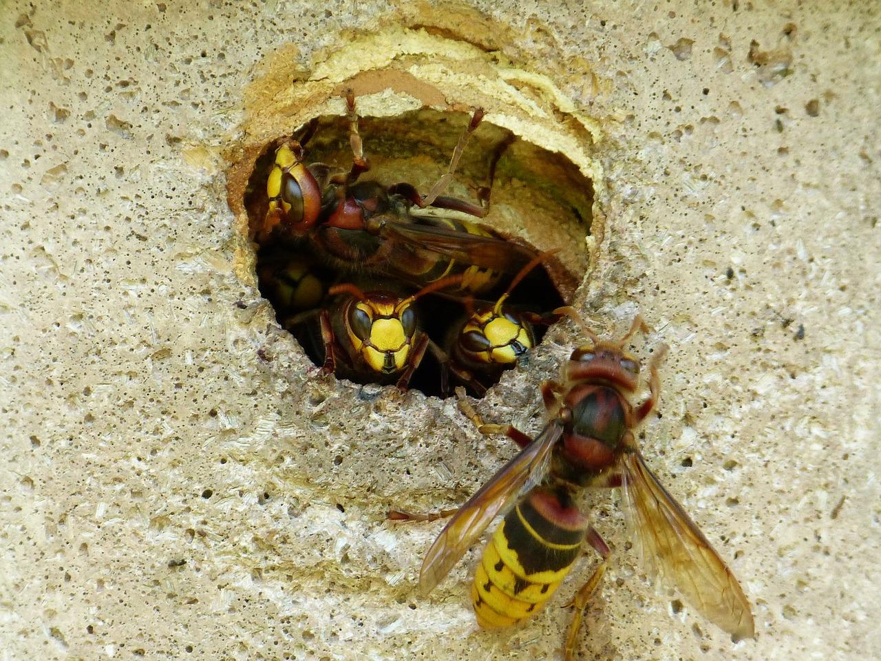 гнездо шершня фото 2