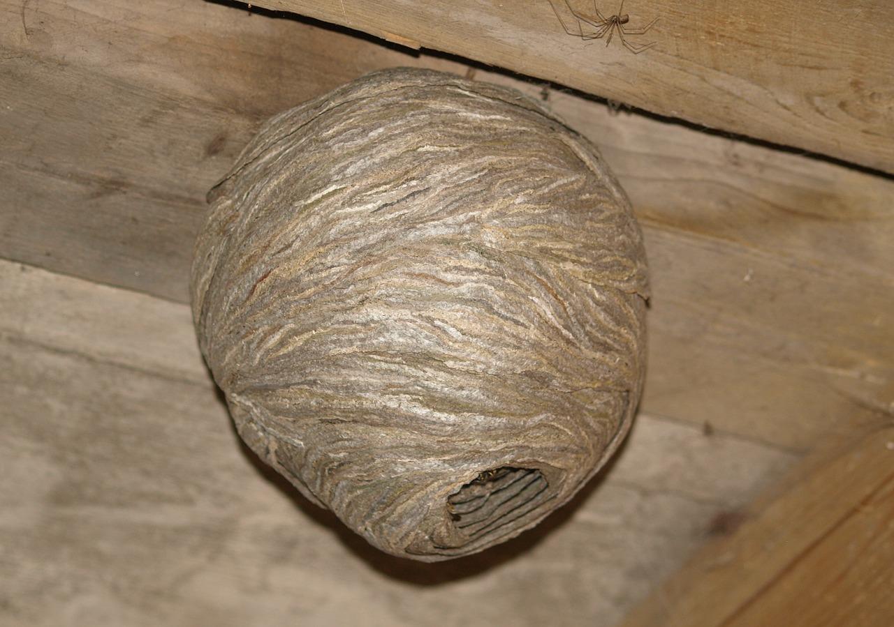 гнездо шершня фото