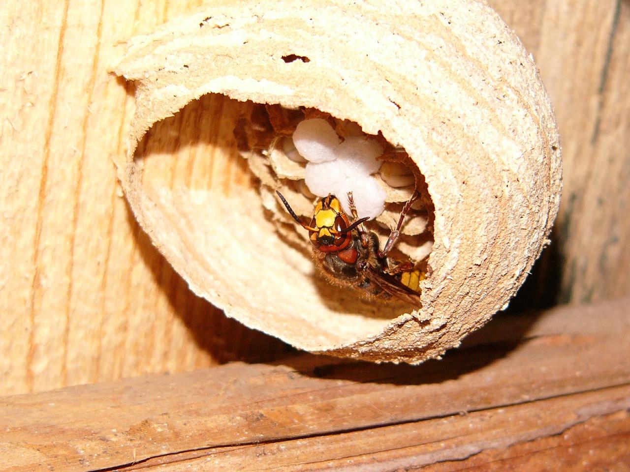 гнездо шершня 5