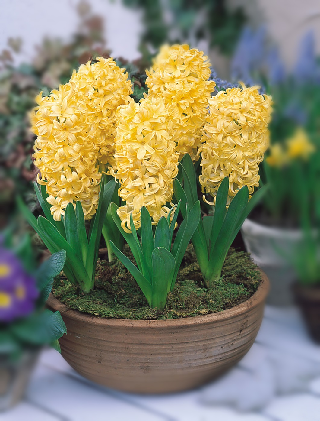 желтый гиацинт фото