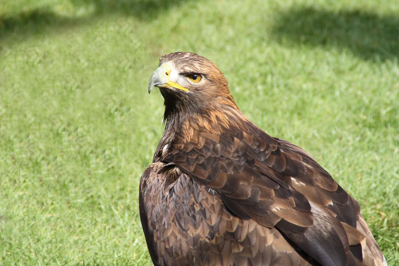орел беркут 1