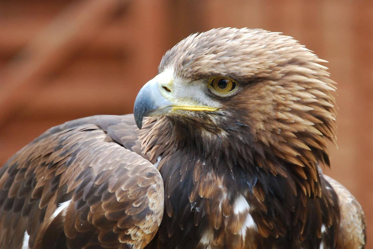 орел беркут 4