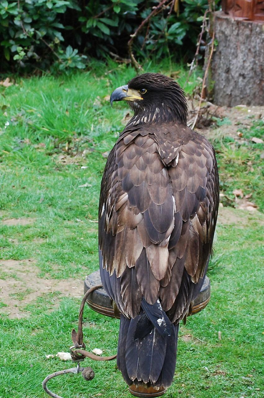 орел беркут 7