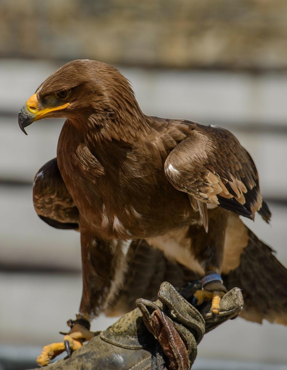 орел беркут 8