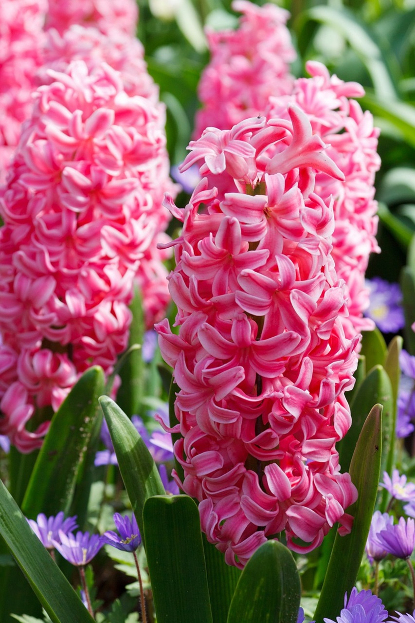 розовый гиацинт фото 01