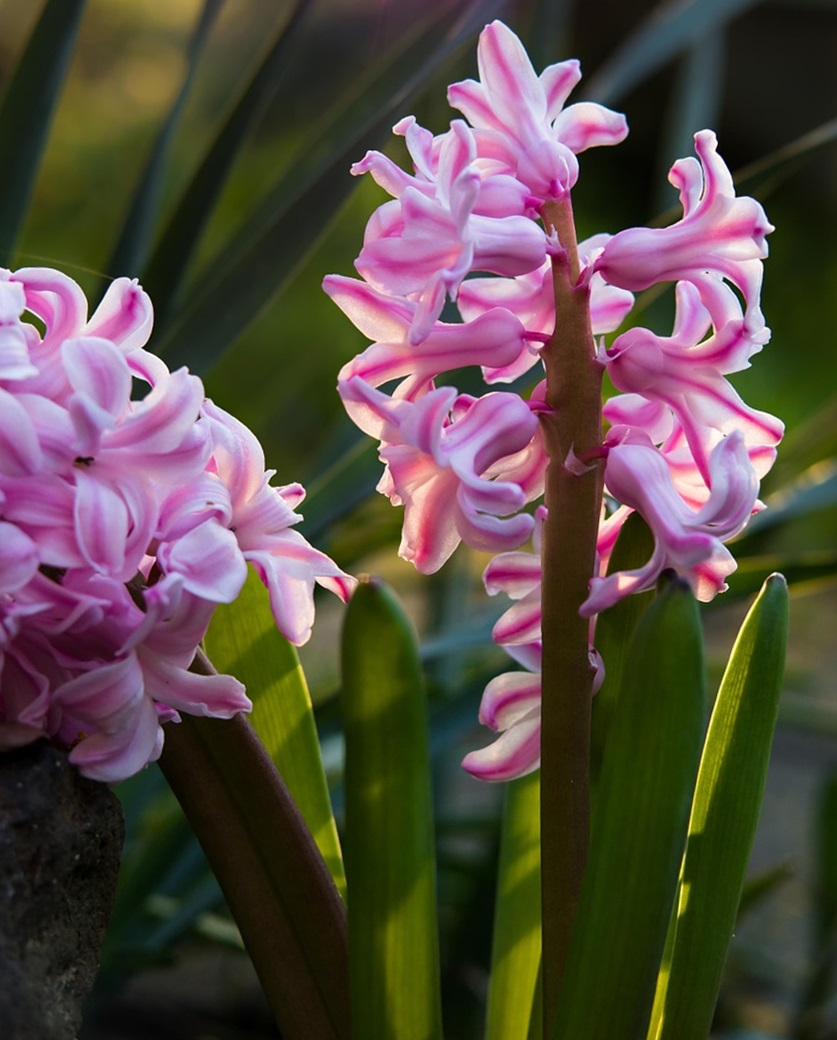 розовый гиацинт фото 03