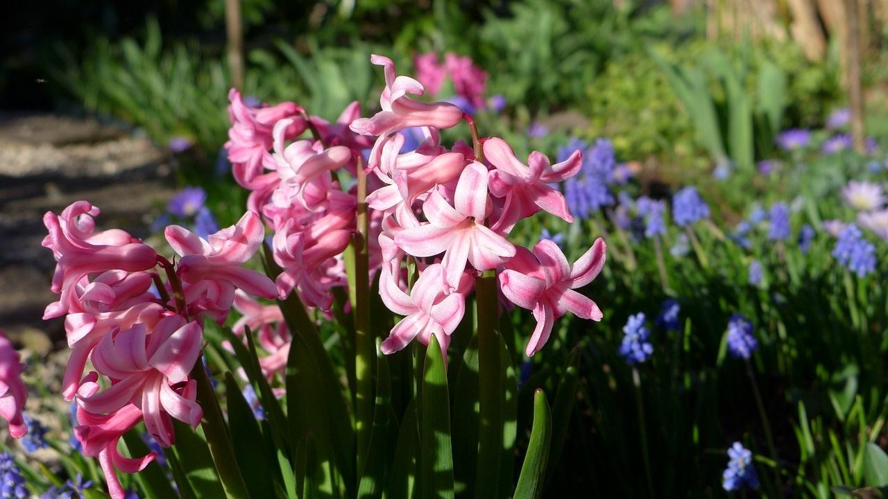 розовый гиацинт фото 05