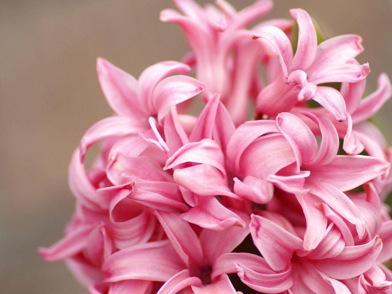 розовый гиацинт фото 2