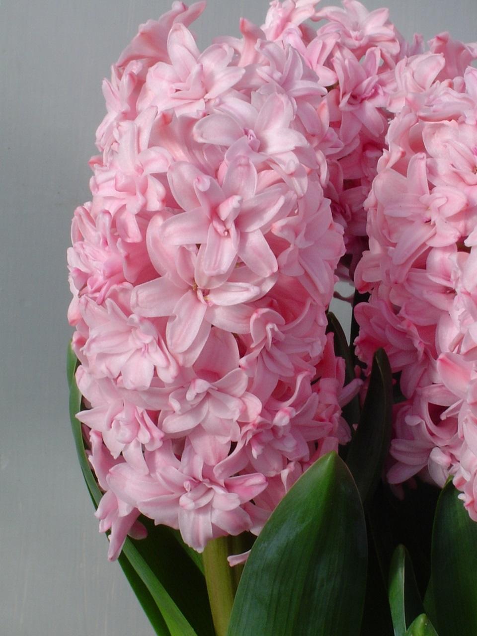 розовый гиацинт фото 4