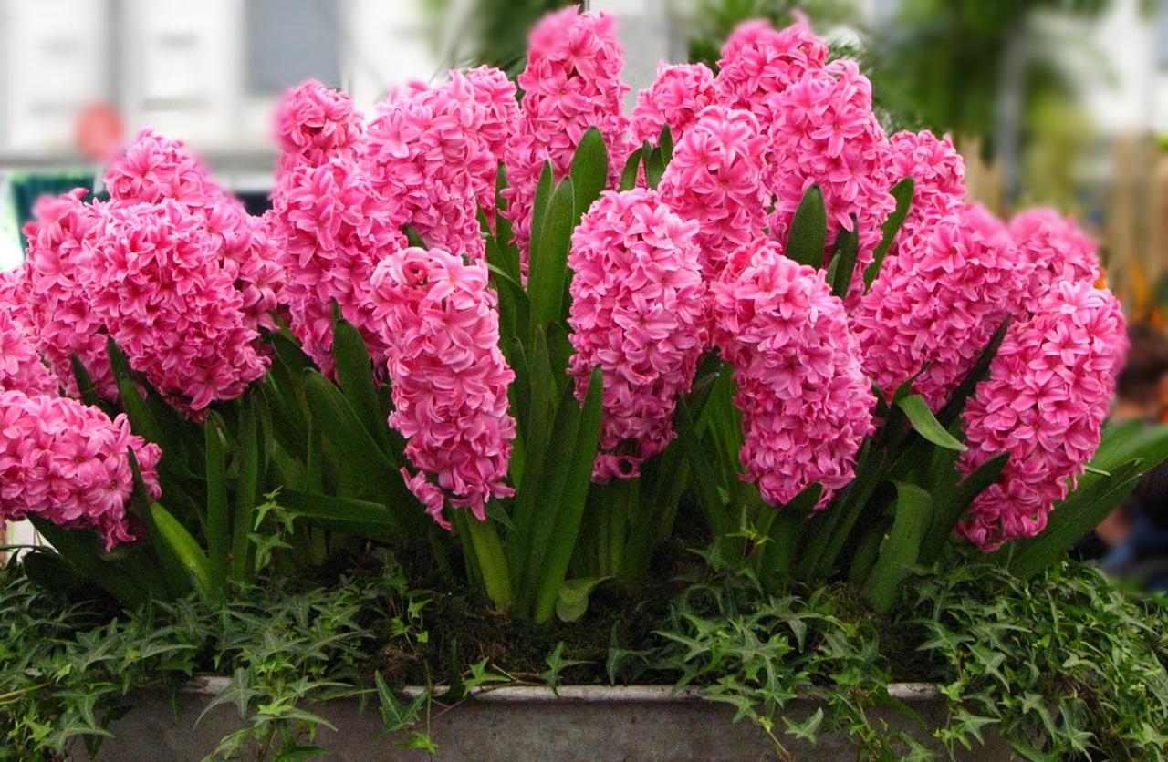 розовый гиацинт фото 6