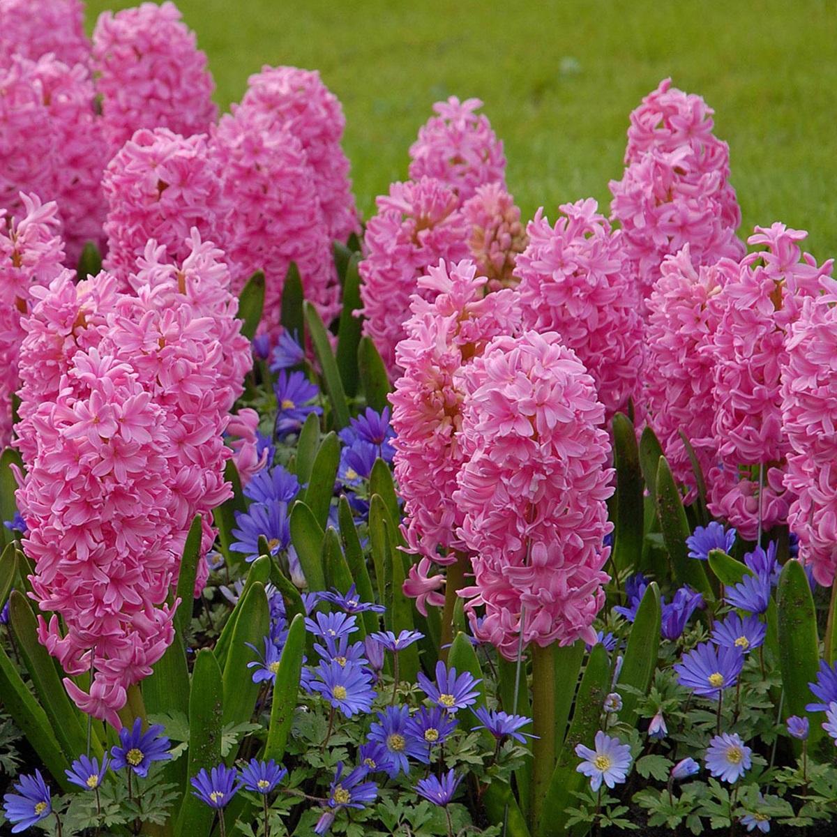 розовый гиацинт фото 7