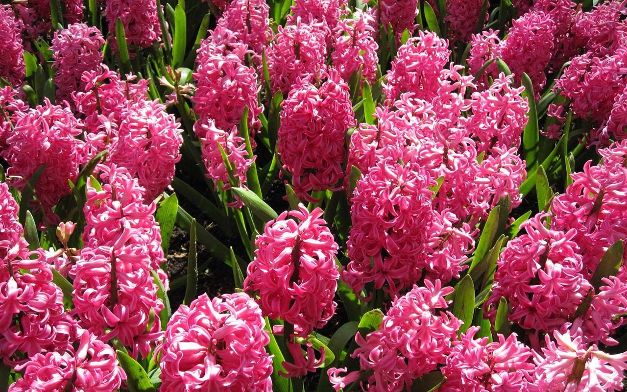 розовый гиацинт фото