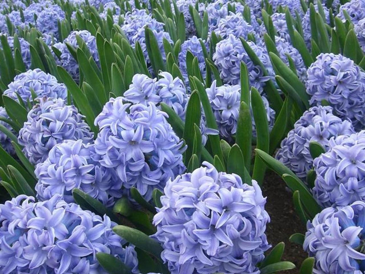 синий гиацинт фото 2