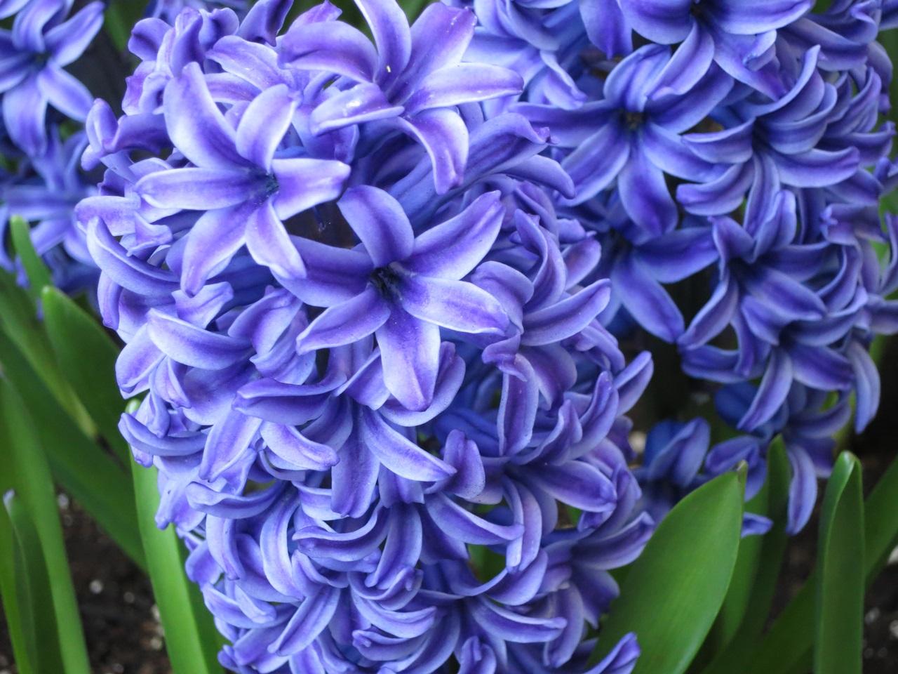 синий гиацинт фото 3