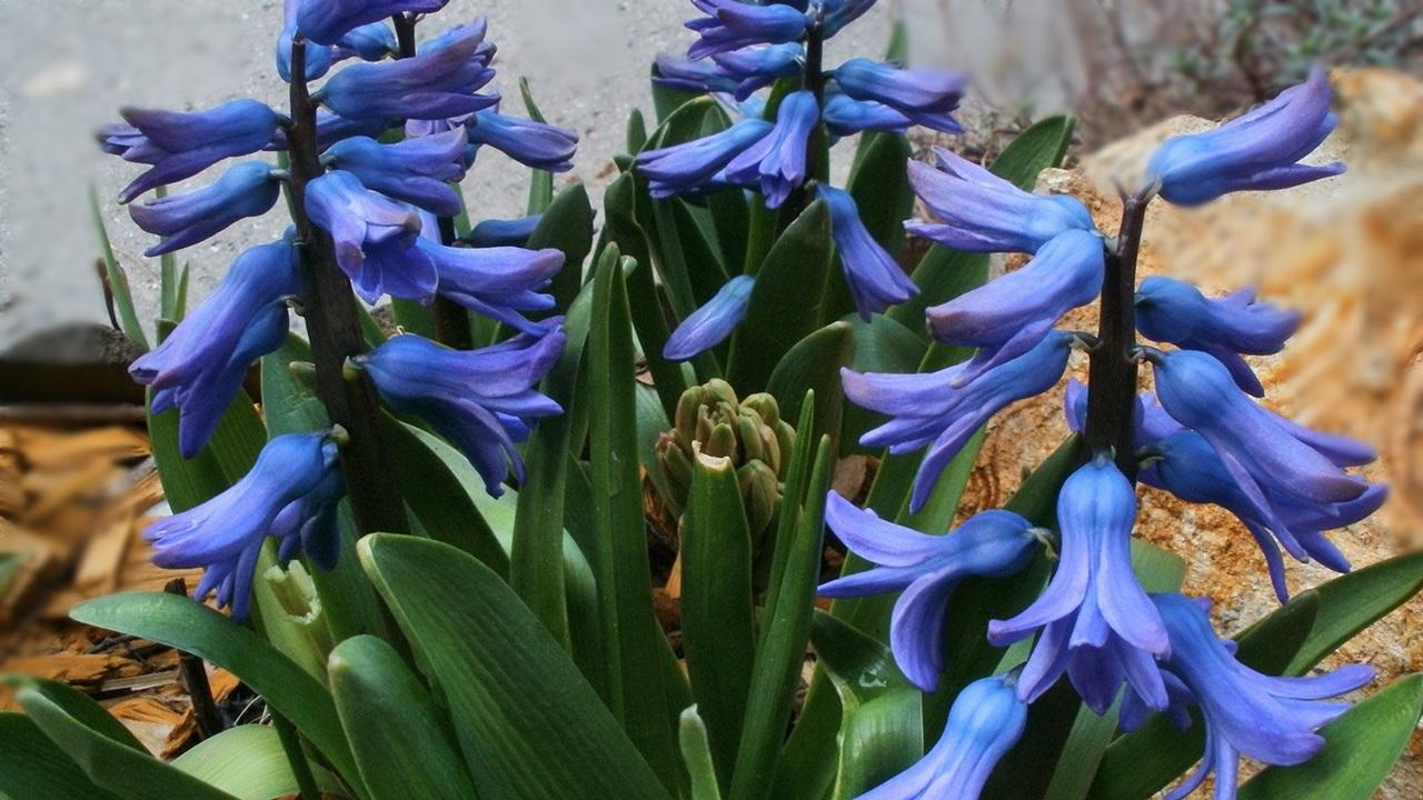 синий гиацинт фото 6