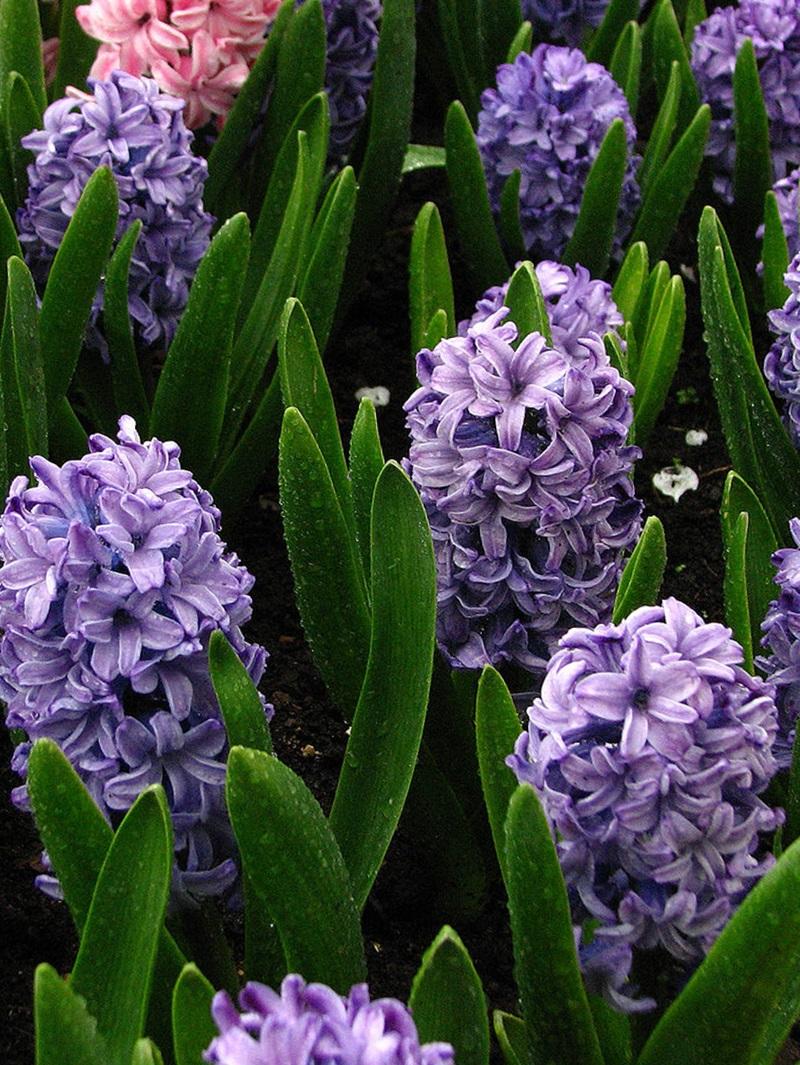 фиолетовые гиацинты фото