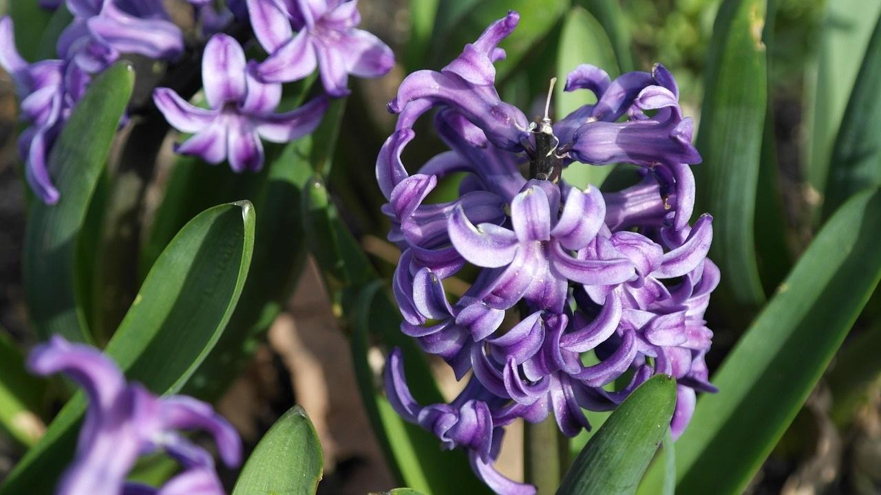 фиолетовый гиацинт фото 01
