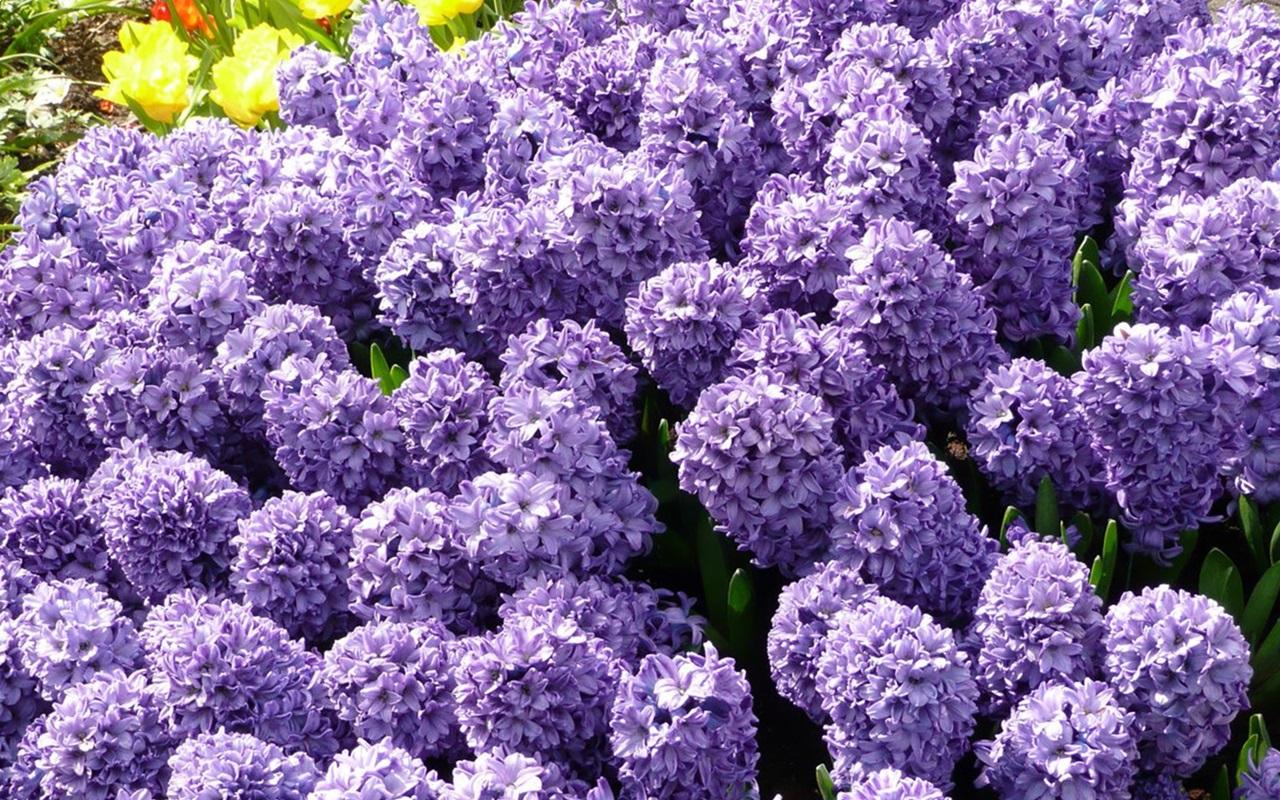 фиолетовый гиацинт фото 1