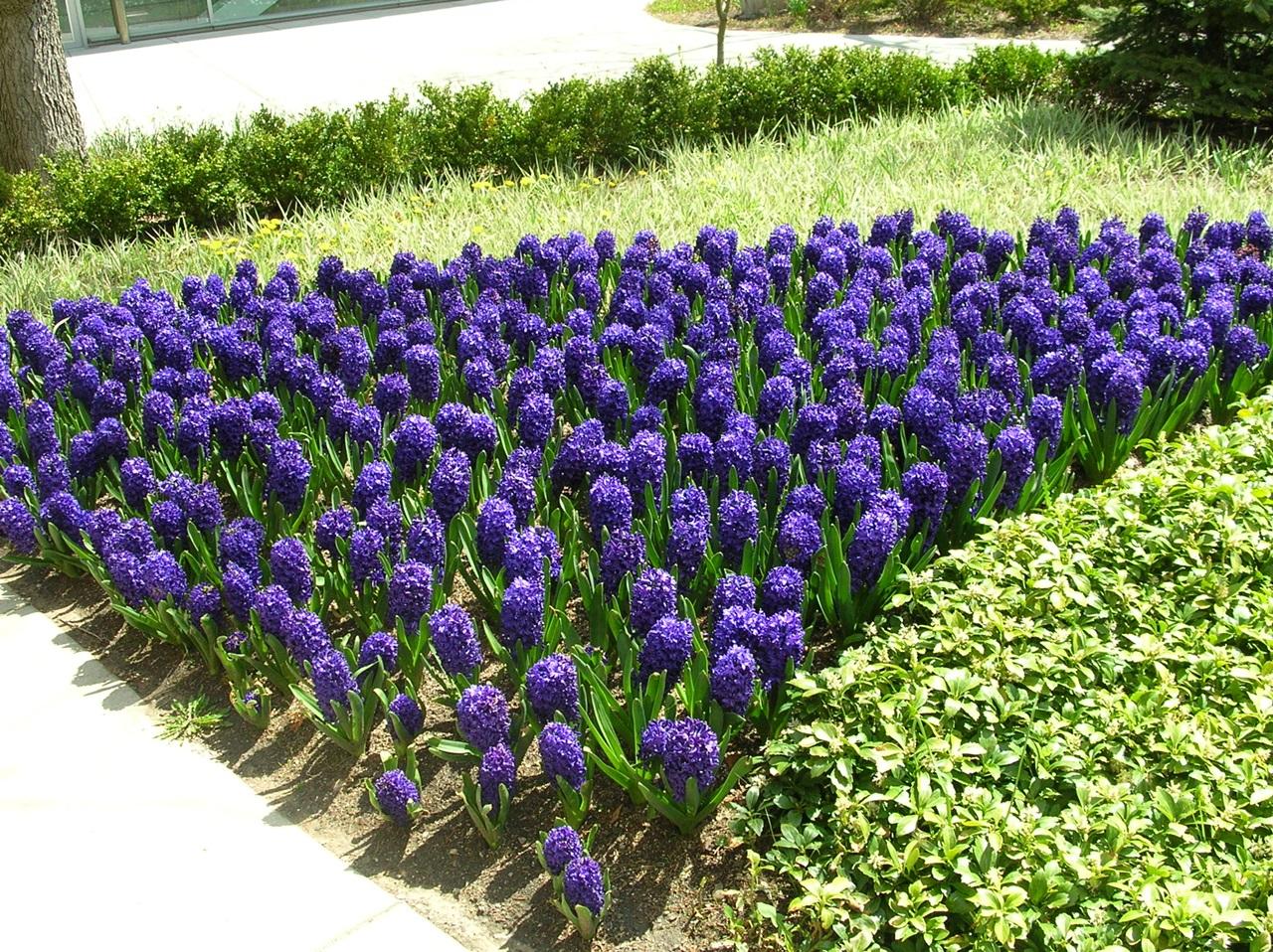 фиолетовый гиацинт фото  6