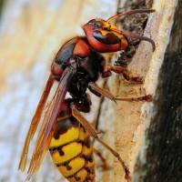 Шершень: 13 фактов из жизни насекомого, фото