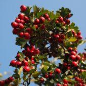 Боярышник — сорта боярышника крупноплодного