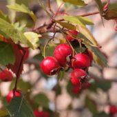 Боярышник: выращивание, полезные свойства, фото