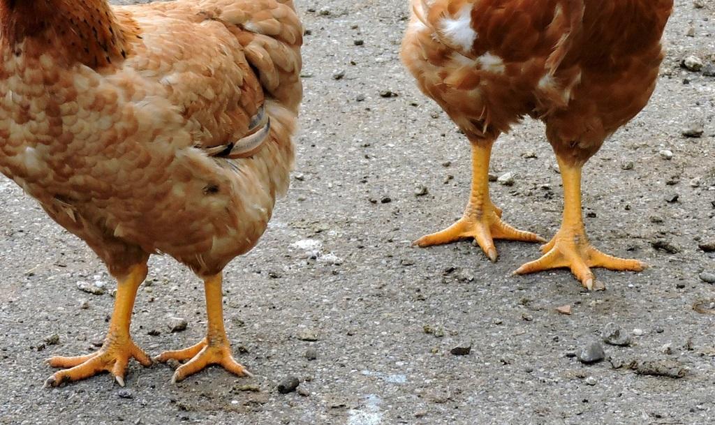 известковые ноги у кур
