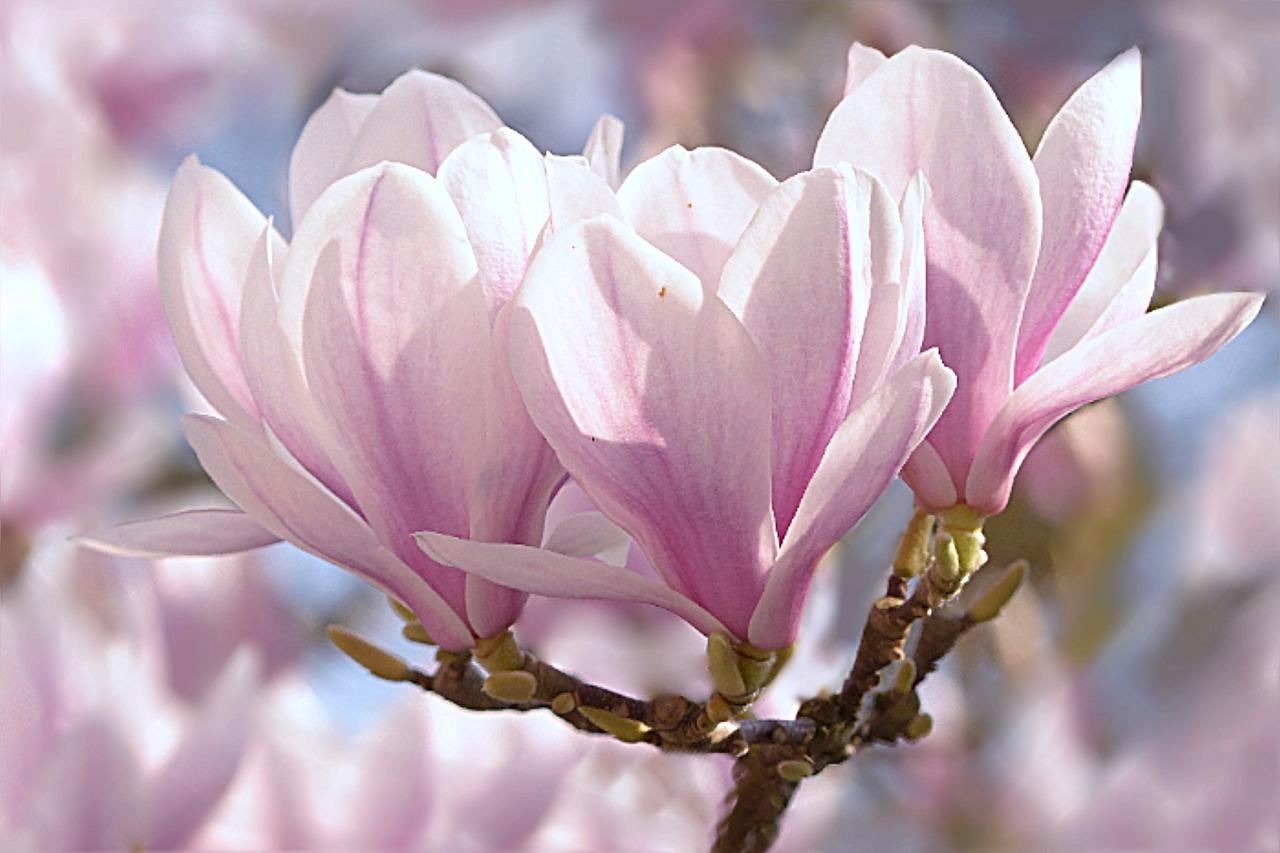 магнолия цветок фото 1