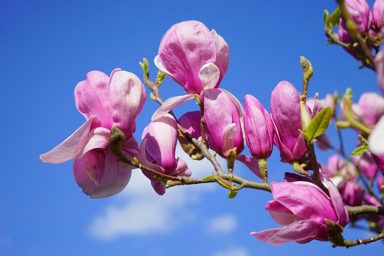 магнолия цветок фото 2