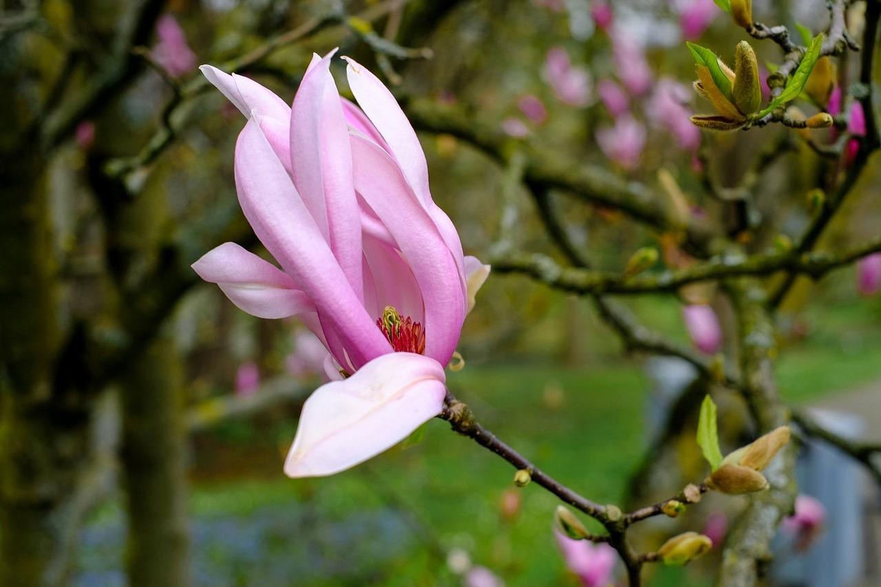 магнолия цветок фото 3