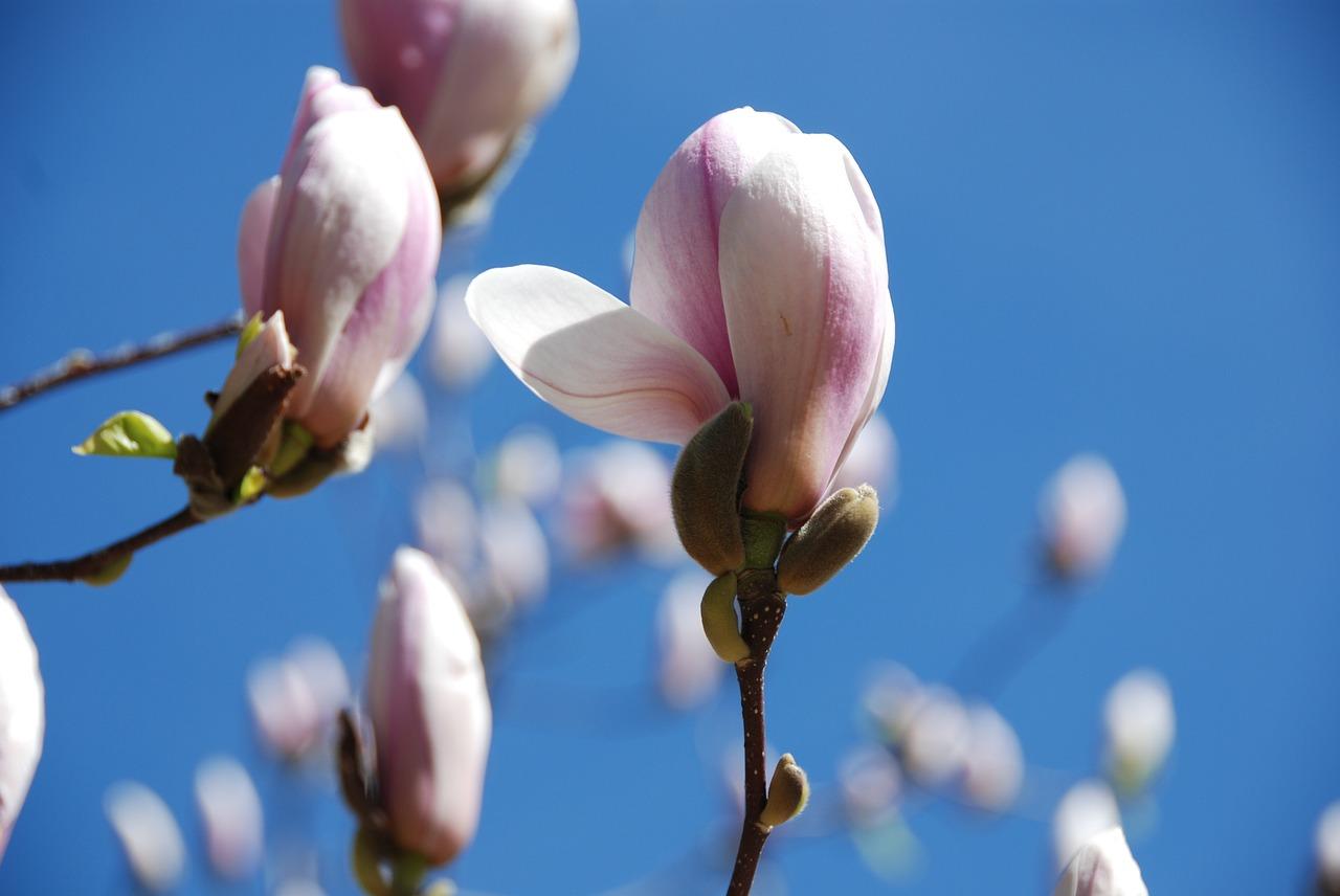 магнолия цветок фото 4