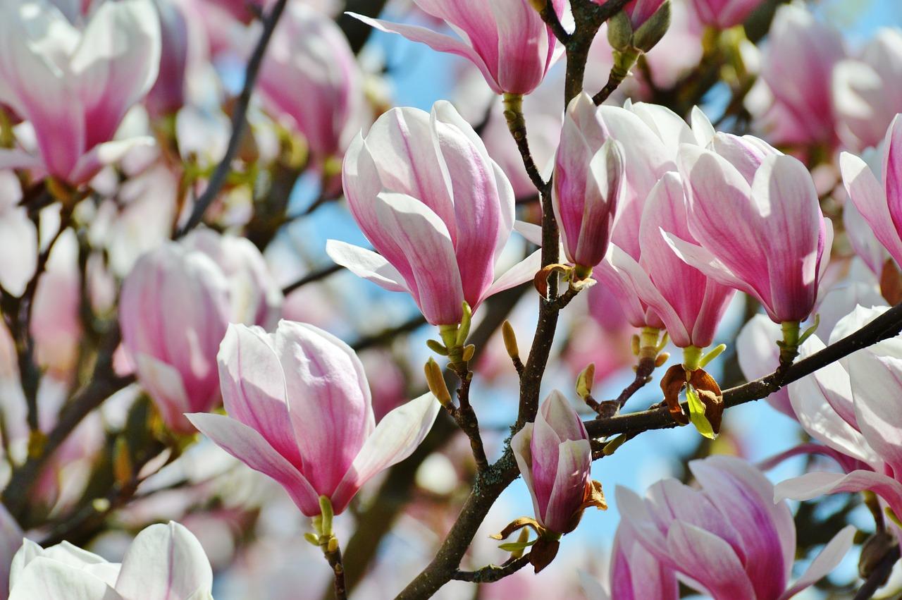 магнолия цветок фото 5