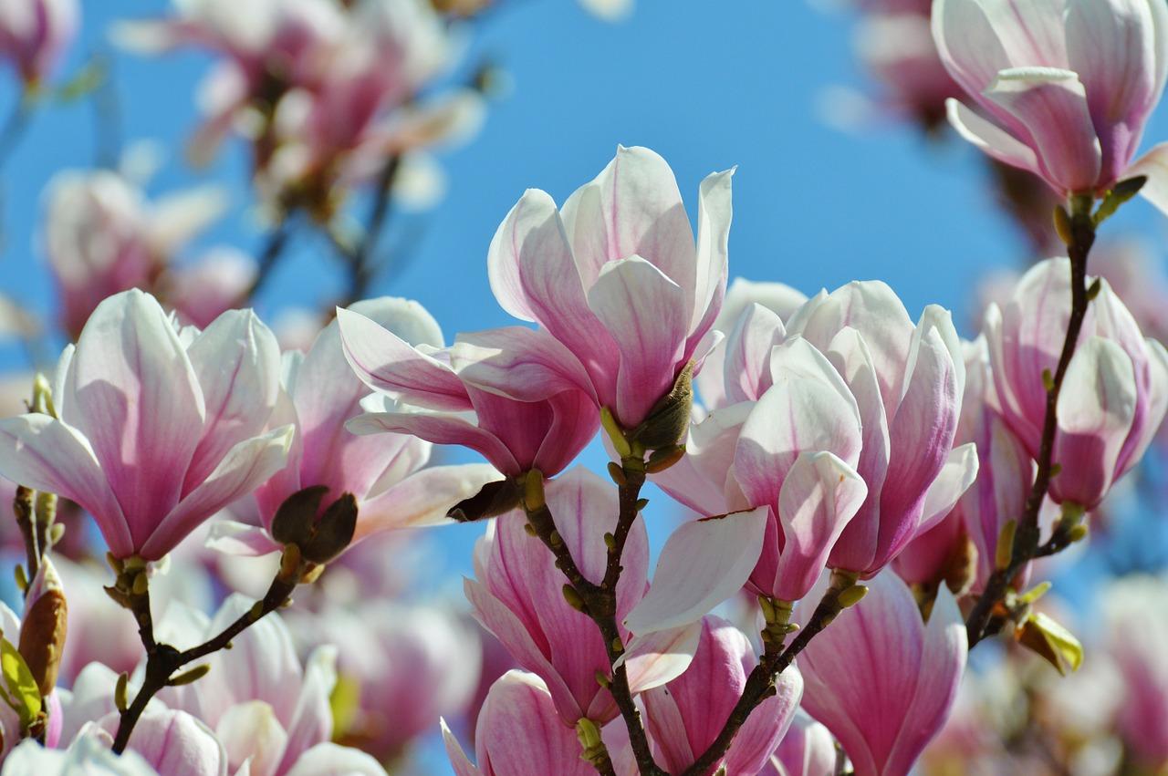 магнолия цветок фото 6