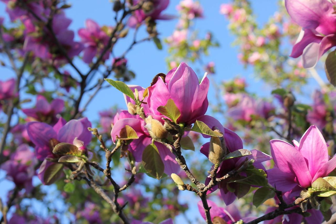 магнолия цветок фото 7