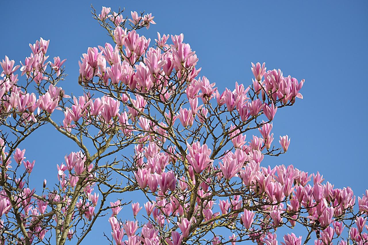 магнолия цветок фото 9